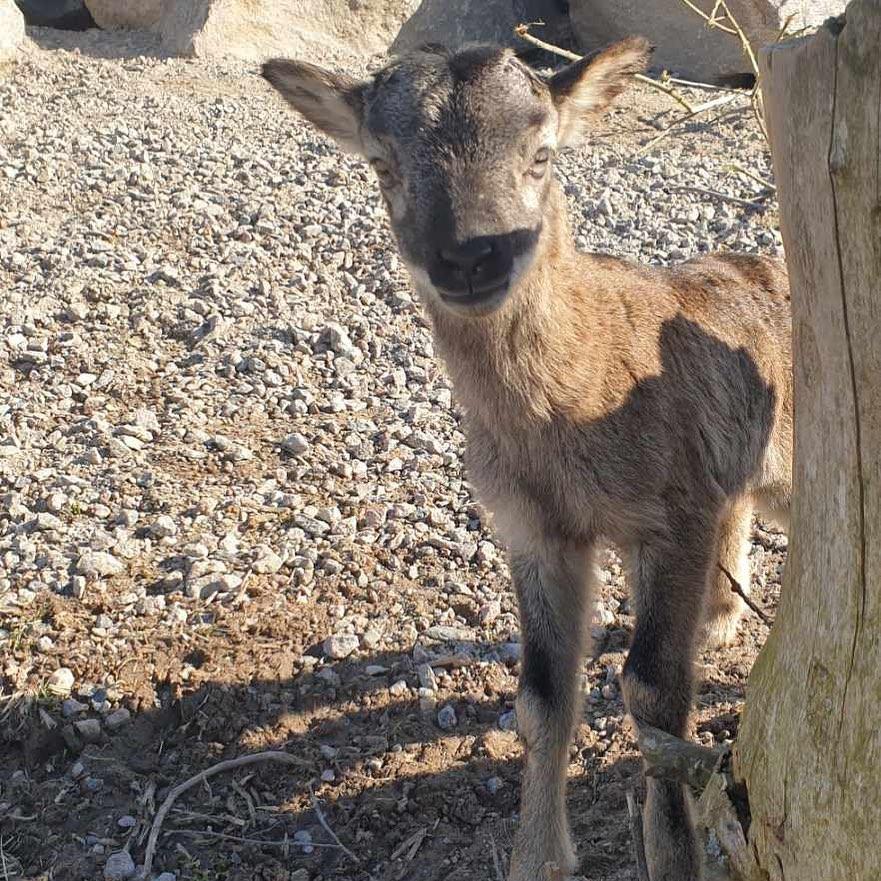 #östermalma #jägareförbundet #wildlifepark #vilt #mufflon #naturen
