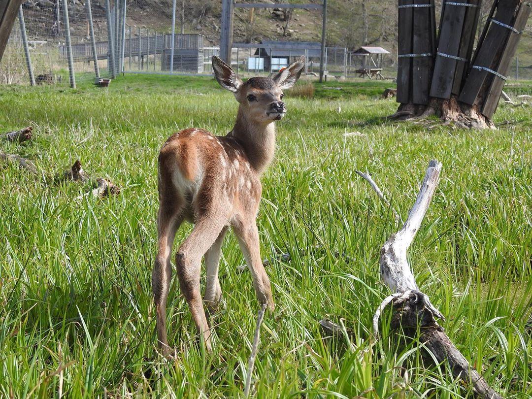 🍀Nu är det vår🍀 Babyboom i vår park😍 Välkomna hit den 21-23 maj samt 30-31 maj💚 #östermalma #jägareförbundet #wildlifepark #vårenärhär