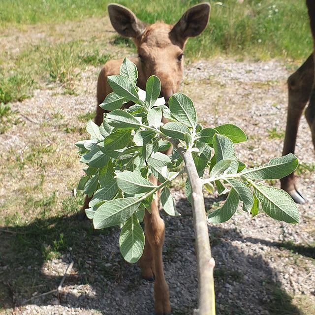 🍀Wildlife Park🍀 Våra kalvar växer och växer😍 Missa inte att besöka parken i helgen, öppet 10-16🌞 #östermalma #jägareförbundet #wildlifepark #älg